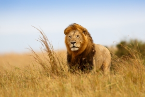 lion-photoafrican-safari-travel-blog----blog-archive----lion-----mara-ss-eh4gapqz