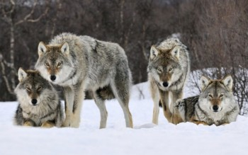 gray-wolves-snow-norway-e1440601501849
